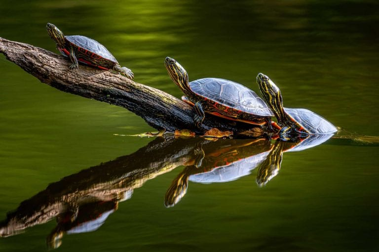 Painted Turtles Photograph