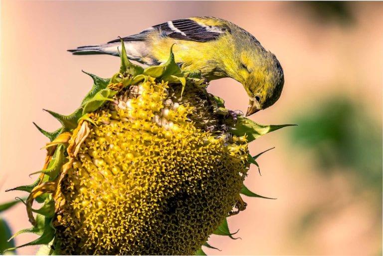 Female Gold Finch Photo