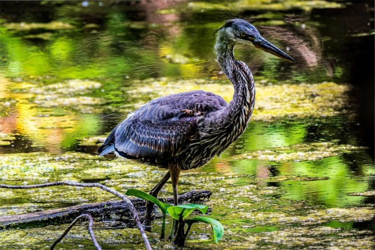 Great Heron Peace Island MN
