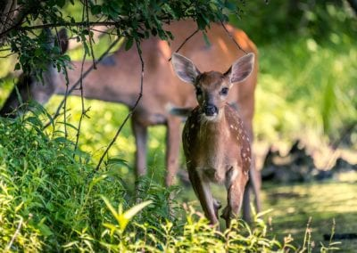 Fawn and Doe Nature Photo