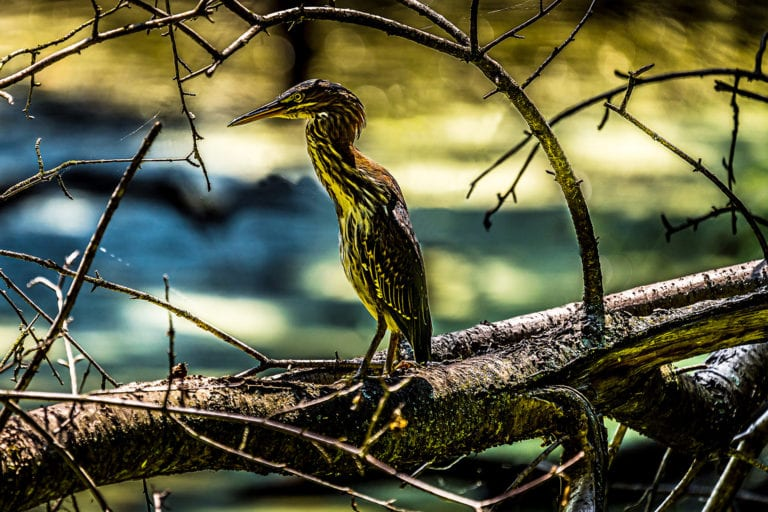 Innsbruck Nature Center Green Heron